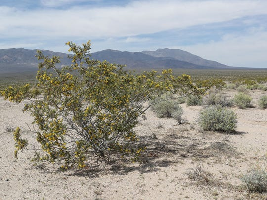 A creosote bush blooms in Silurian Valley in the Mojave Desert north of Baker, California. A 29,000-acre solar-and-wind farm was proposed for this area, before Silurian Valley was protected by the Desert Renewable Energy Conservation Plan.
