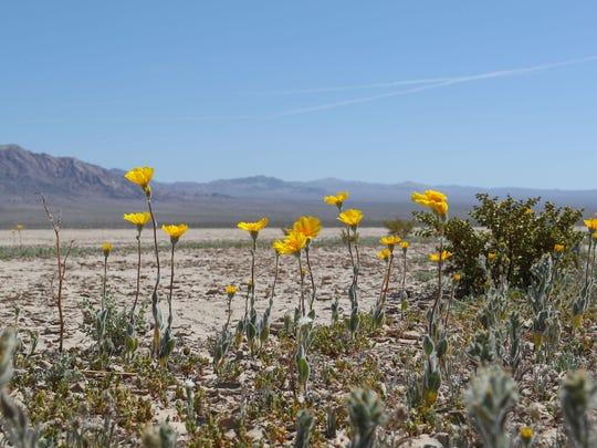 Wildflowers bloom in Silurian Valley, north of Baker, California, in the Mojave Desert in April 2018.
