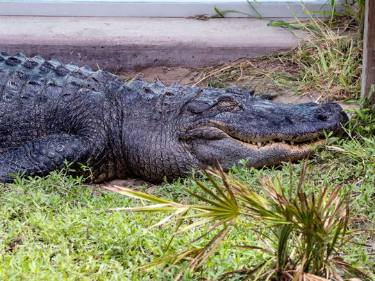 Bo, an American alligator, is located in the Swamp