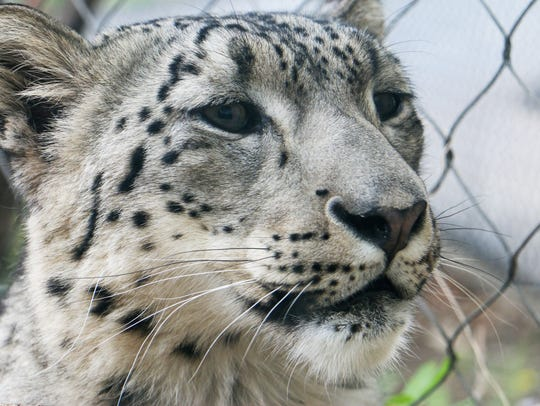 Layan is Blank Park Zoo's newest snow leopard. He was