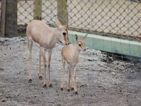 Zookeepers have noted that the baby gazelles love to bounce around their habitat in the morning hours.