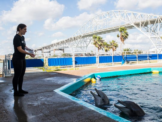 Senior Trainer Mady Cox throws jello to Liko and Schooner Thursday, May 10, 2018 at Texas State Aquarium.