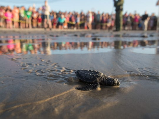 Kemp's ridley sea turtle hatchlings crawl down the