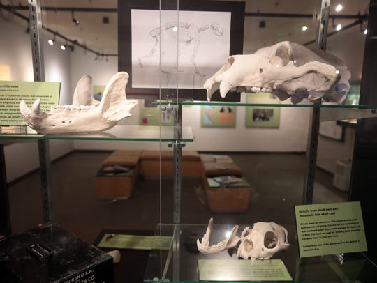 Grizzly bear artifacts on show on Saturday June 16,