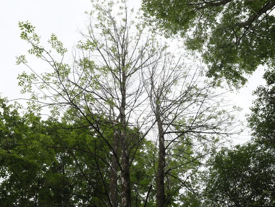 Dead ash trees strike a sharp contrast to healthy neighboring trees in the Town of Grafton.