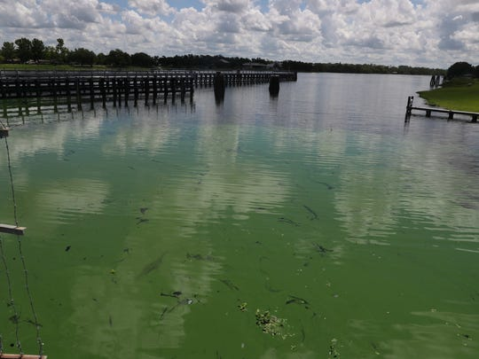 Algae is blooming mostly east of the Franklin Locks on the Caloosahatchee River. The algae has been reported along a different parts of the river. This patch was seen backed up against the lock area on the south side of the Caloosahatchee River.
