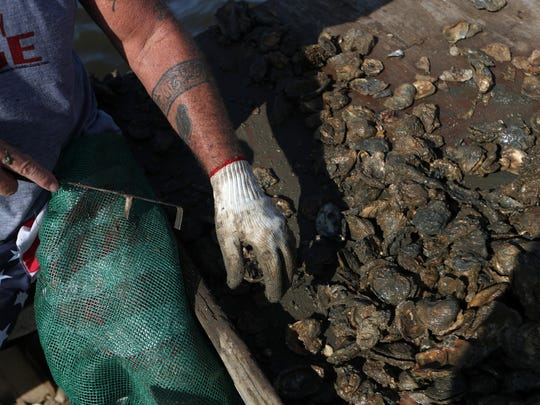 "Ronald Custer, 57, works through his haul of oysters, finding a higher percentage of dead oysters than live, sellable ones in the Apalachicola Bay on Thursday, June 28, 2018. The dead oysters are pushed back in to the waters. Custer finished the day with a half a bag of sellable oysters, or $27 worth, a fraction of what he caught just three weeks ago when the summer season began. ""In another week or so, there won't be any left,"" said Custer."