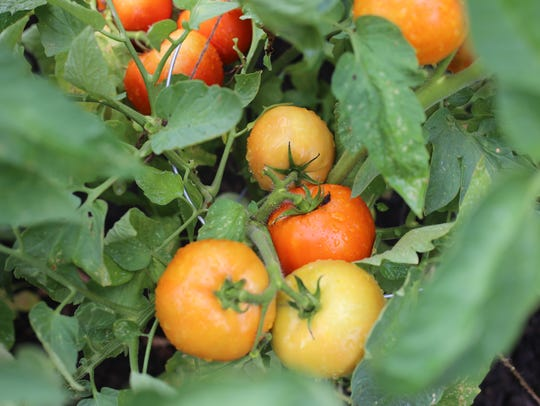 Tomatoes grown at the Alexandria VA Hospital with the