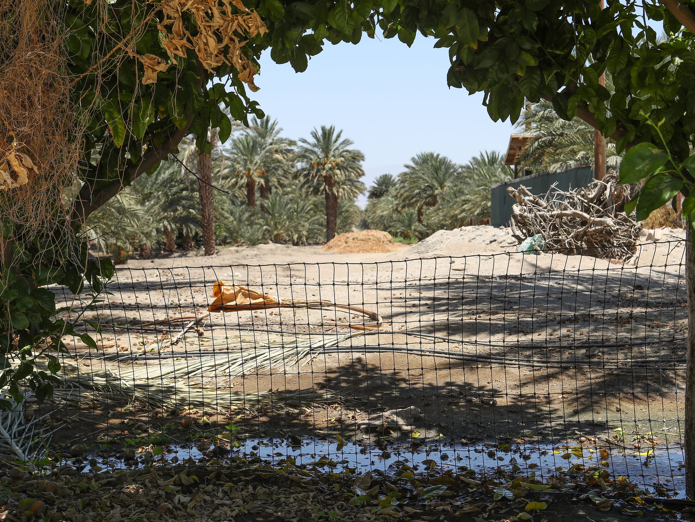 Farmers have planted more date trees in the Coachella Valley during the past decade. Dates usually require more water than field crops such as carrots or peppers.