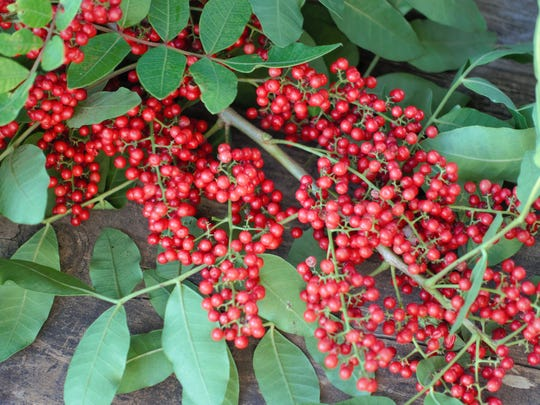 Red berries of Brazilian Pepper Tree (Schinus terebinthifolius), an invasive plant in Florida, that is also called the Florida Holly.
