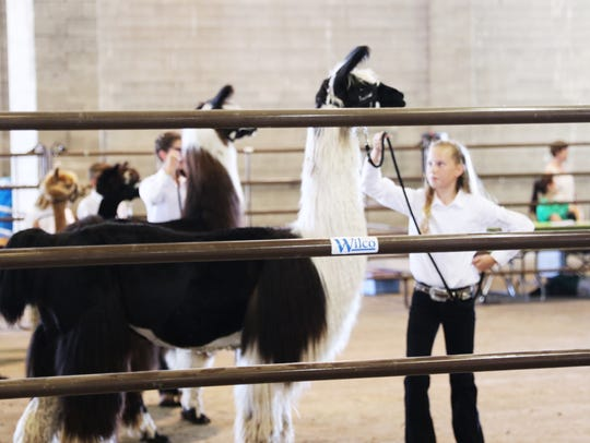 A contestant in the Llama Showmanship competition at