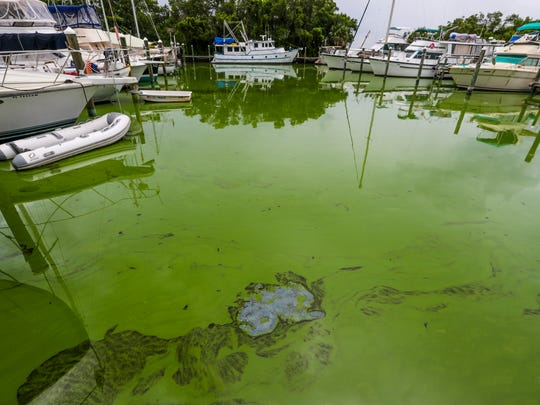 Paradise Marina is starting to the patches of dead algae floating in the water. It turns a blue color when it dies. A horrible smell comes along with this. People who live on the water, in boats at local marinas, say they have had no warning about what the green algae can do to them health wise. Nor have they been asked to leave the area. Many who live at the Rosen Park Marina in Cape Coral, FL, are concerned about the algae bloom and are coming down with breathing and skin issues.
