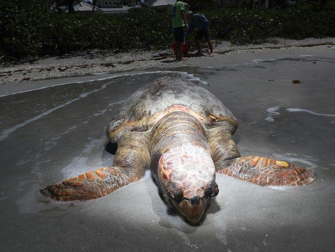 A large dead male loggerhead sea turtle lays on a Sanibel