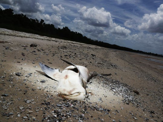 A dead shark is seen on Bunche Beach on Thursday 8/2/2018. It is suspected that it died from a red tide outbreak that is ravaging parts of Southwest Florida.