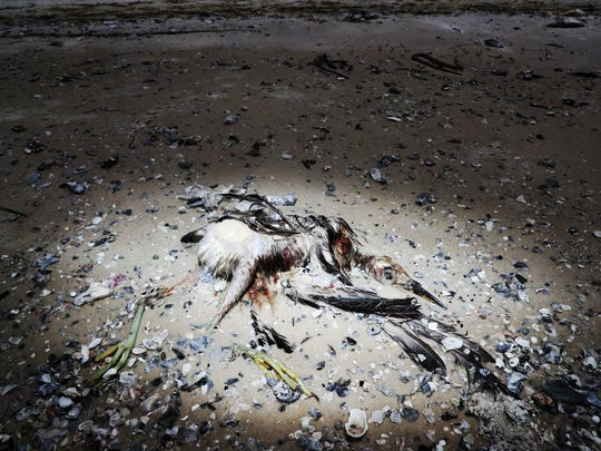 A dead heron or egret is seen on Bunche Beach on Thursday 8//2/2018. It is suspected that it died from a red tide outbreak that is ravaging parts of Southwest Florida.