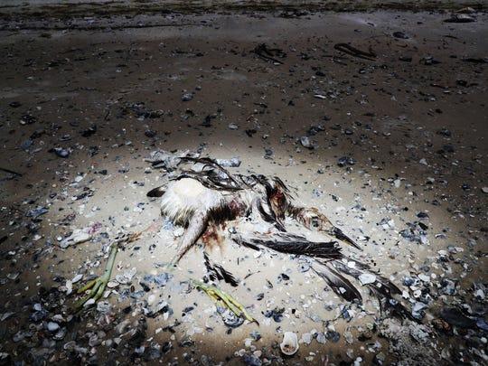 A dead heron or egret is seen on Bunche Beach on Thursday