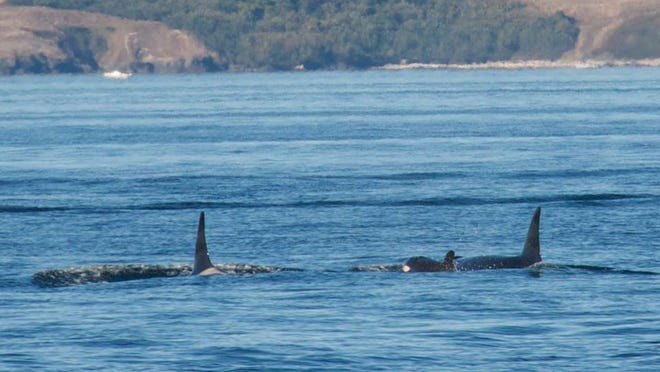 """Capt. James Maya of Maya's Westside Whale Charters was the first to take a photo of the calf: """"Newly seen calf for the first time today…L120. Mom L86…Off of South Beach, San Juan Island, (Saturday), 4:41 PM."""""""