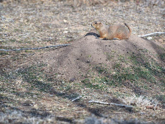 A seminar on the black-tailed prairie dog was just