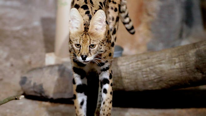 Amos, a 9-year-old male serval, is among the new residents this year at the Milwaukee County Zoo. Servals are cats with large ears and they are native to the savannahs of Africa.