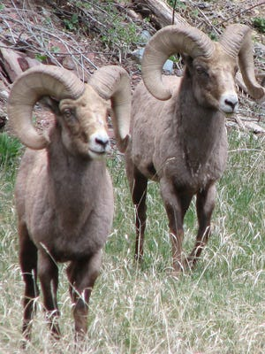 Two Bighorn sheep in a meadow in Colorado.