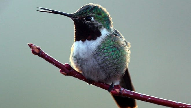 This broadtailed hummingbird arrived early to stake out a good nesting area for his mate.