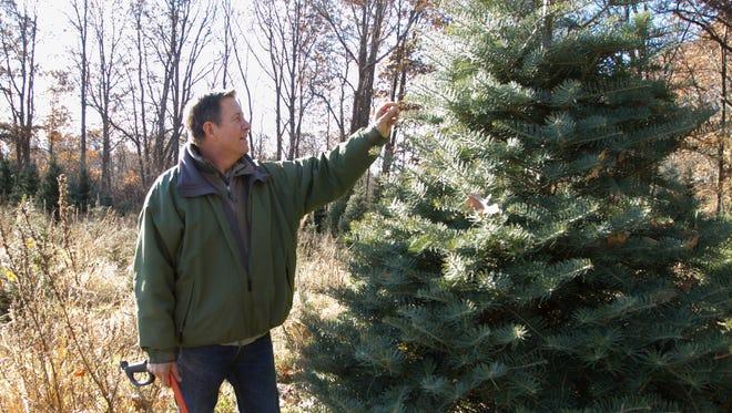 Waldock Tree Farm owner Lou Waldock examines the needles of a concolor fir Wednesday, Nov. 29, 2017 at his Iosco Township farm.