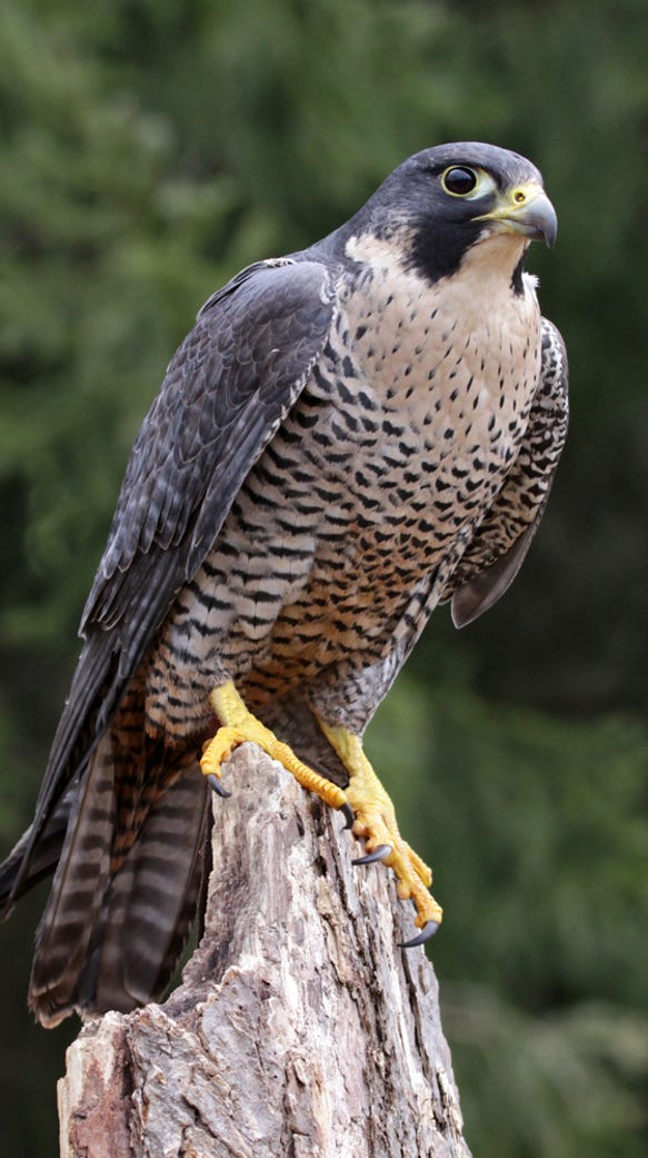 DEC will offer a falconry license exam next month,