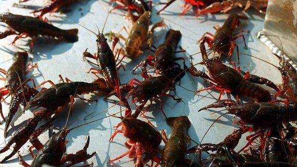 A harvest of red swamp crawfish lies on the platform