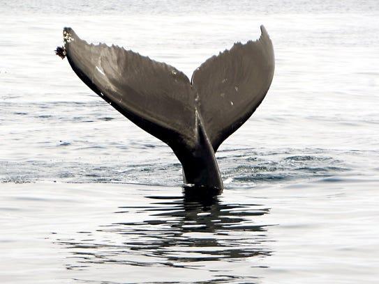 A humpback whale frolics near Santa Cruz Island.