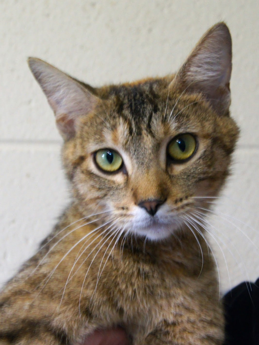 636068645299027766-Libby-Cat-for-adoption.png