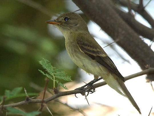 A Southwestern willow flycatcher, which favors trees