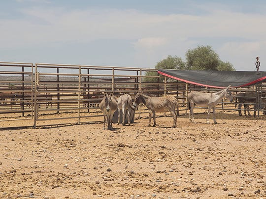 Burros in BLM holding pens in Florence.