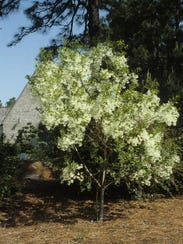 White fringetree is one of the trees the county is