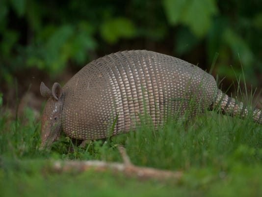 Armadillo Searches For Food
