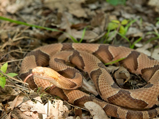The copperhead is one of three venomous snakes found in the Upstate, and responsible for the majority of bites.