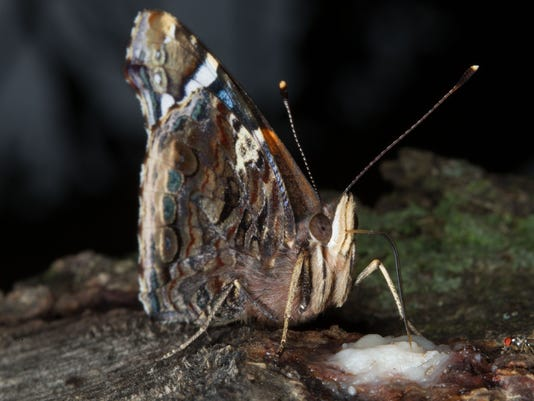 Red_Admiral_Butterfly_0138.jpg