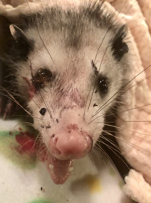 "After ""Hope"" the opossum was brought to Franklin wildlife rehabilitator Stacey Cobb, she cleaned him up and gave him some pain medication following a case of animal cruelty hours earlier."