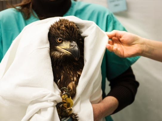 A hawk and an eagle are treated at the Swanson Wildlife