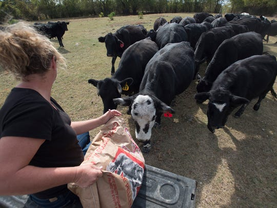 Stacey Nestor feeds cattle  on Tim Nestor and Stacey
