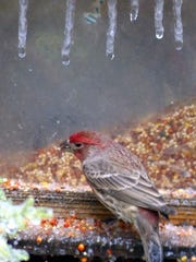 Frozen streams from the top of the feeder frame a house finch grabbing a few seeds.