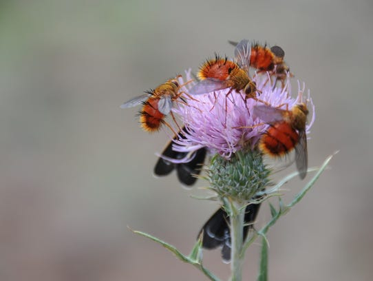 Wavy-leaf thistle attracts bees and other pollinators