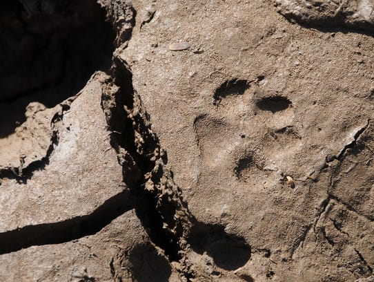 A bobcat print at a stock tank in American Gulch in