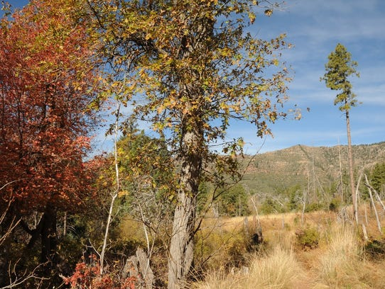 Bigtooth maples and Gambel oaks show their fall colors
