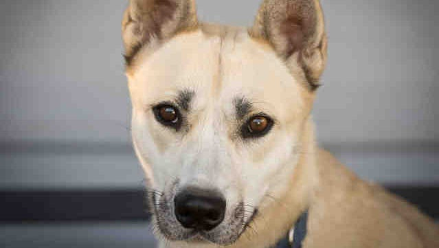 Stella is available for adoption at the Humane Society of Ventura County in Ojai.