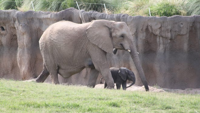 Semba and her baby wander around the Expedition Tanzania enclosure at the Reid Park Zoo in Tucson, Arizona.