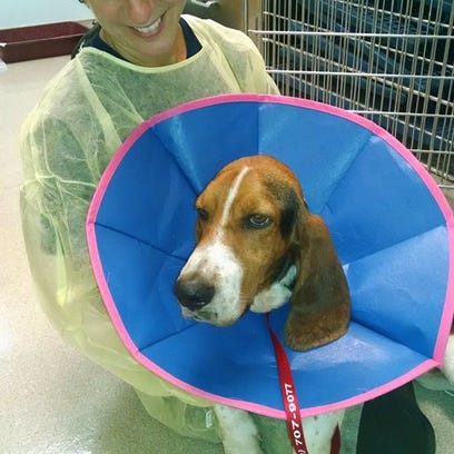 Gabriel, a basset hound who was lost for 42 days, with