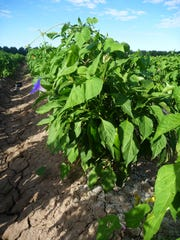 Researchers at New Mexico State University are studying integrated pest management of the weed seed bank of tall morning glories in chile crops.