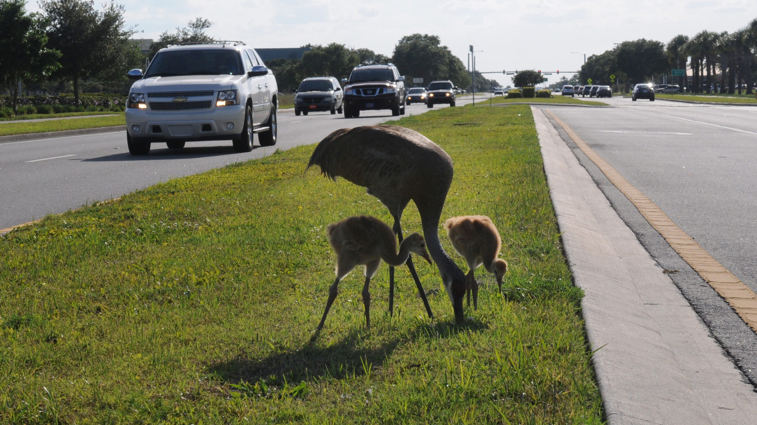 Please Dont Mow Cranes >> Crane Crossing Crisis Hard To Solve