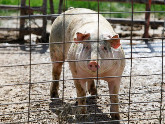 Whether you have one animal or thousands, and regardless if your facility is required to be licensed, state law requires any location that keeps livestock to be registered with DATCP.