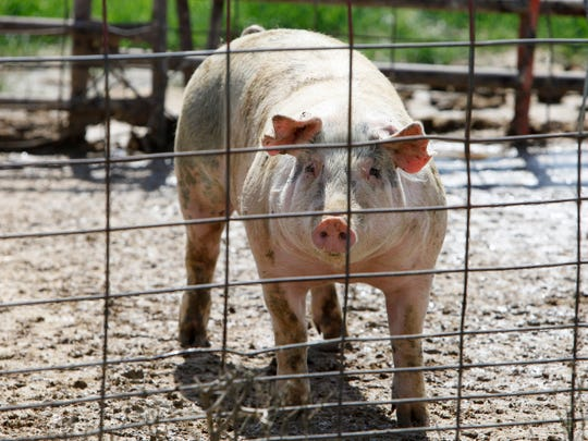 As African Swine Fever continues to spread overseas, swine producers are called upon to remain vigilant.